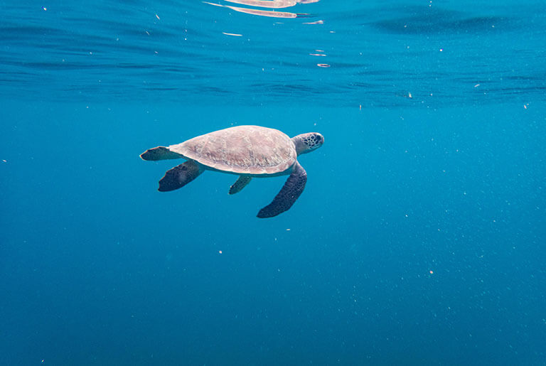 Martinique - to Meet Sea Turtles: Anses d'Arlet